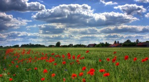 https://pixabay.com/en/field-of-poppies-brandenburg-nature-50588/