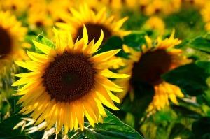 sun-flower-726978_960_720